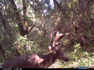 Fuzzy Antlered Buck