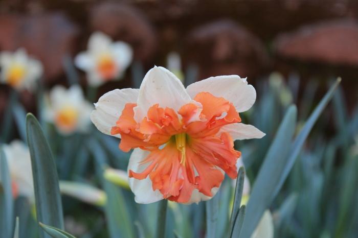 Orange Daffodil!